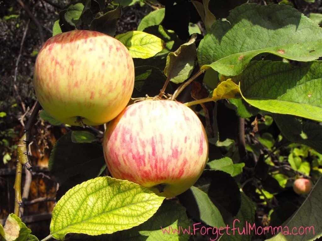 Apples - Pan Cooked Chicken & Apple