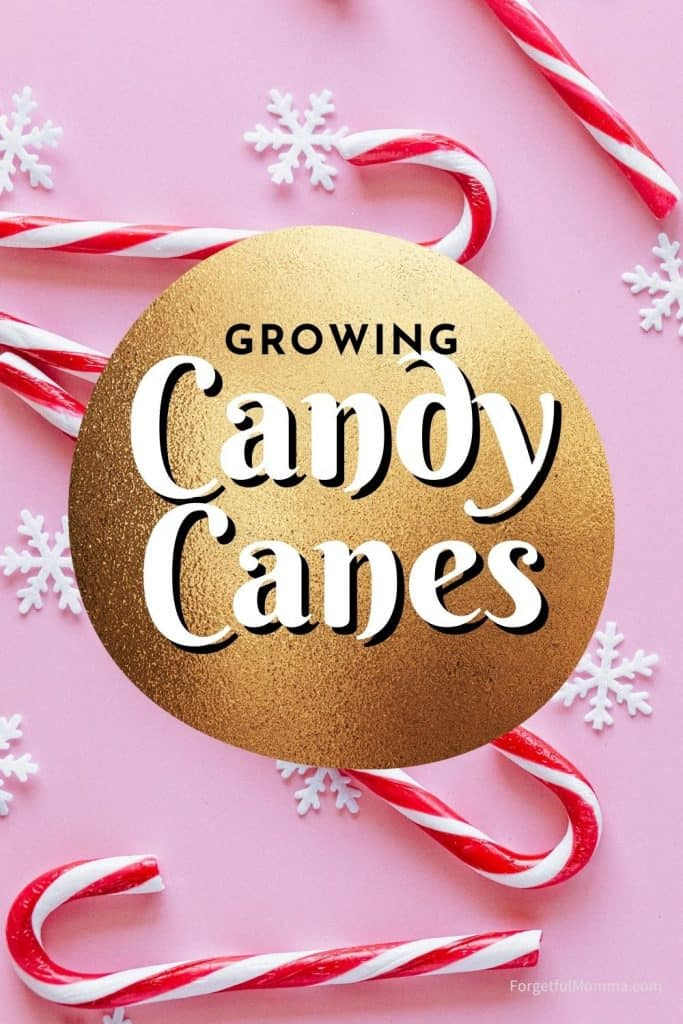 Growing Candy Canes