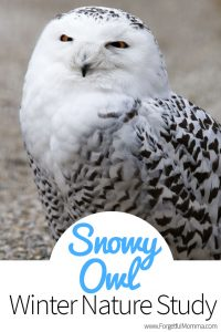 Learning about Snowy Owls + Giveaway