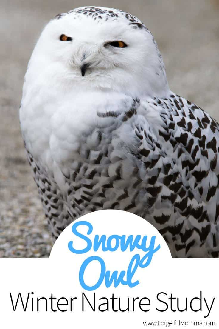 Snowy Owl - Winter Nature Study